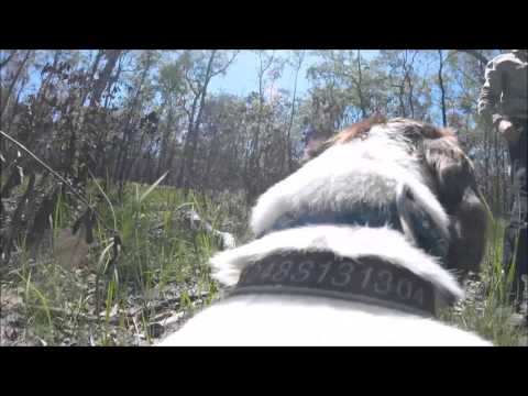 Taz the Koala Detection Dog locates burnt scat