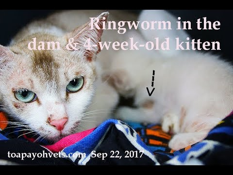 A domestic short-haired cat and kitten have ringworm. Pt 1/2