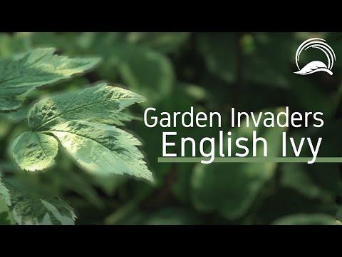 Garden Invaders - English Ivy