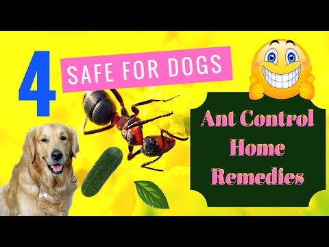 4 Safe for Dogs Ant Control Home Remedies