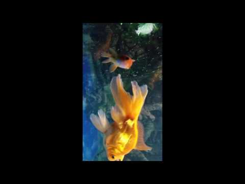 My happy goldfish
