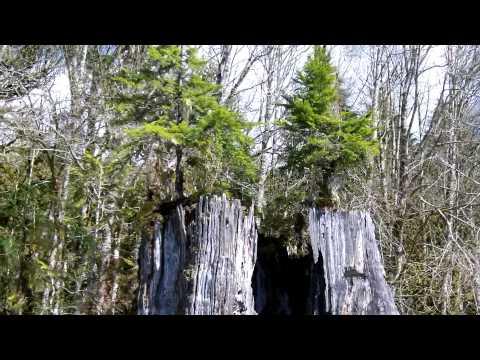 Huge Tree Trunk Growing Two Trees
