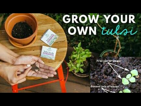 Best way for growing  tulsi / holy basil plant from seeds