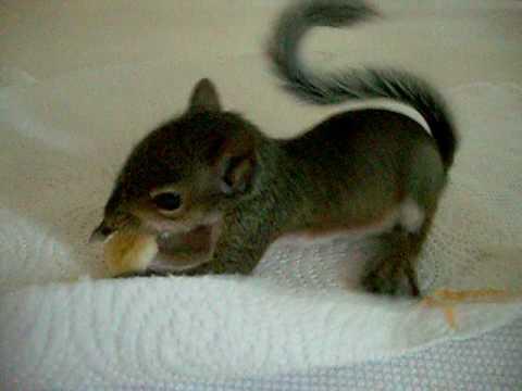 Baby Squirrel Enjoys a Banana