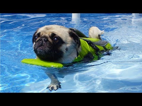 TOP 10 DOG BREEDS THAT CAN'T SWIM