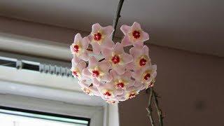 Our Hoya carnosa Houseplant in beautiful bloom