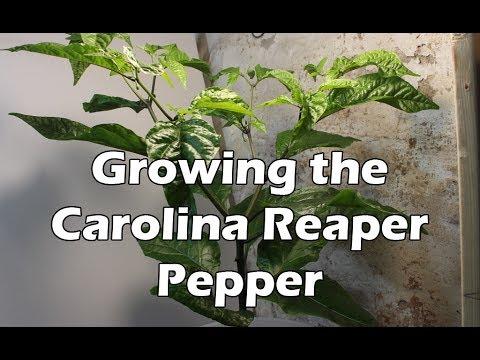 Growing the Carolina Reaper Pepper Plant