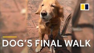 Elderly golden retriever's final walk prompts owner's touching letter