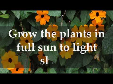 How to Grow Black Eyed Susan Vine at Home