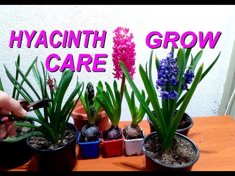 How to grow and care for Hyacinths plant