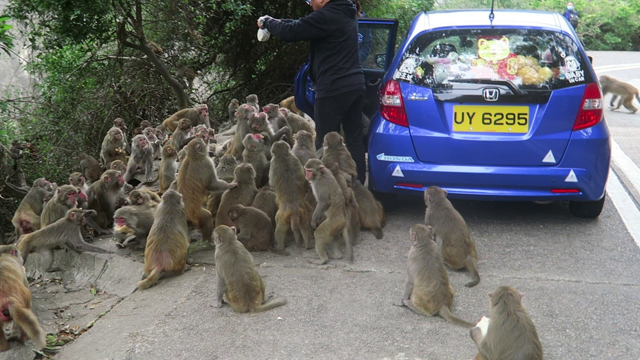 Monkeys going CRAZY over food at Kam Shan Country Park in Hong Kong
