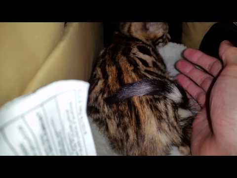Baby Bengal Kitten - 10 Weeks Old - 1st Day Home Pt. 4