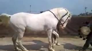صبحان الله على حصان