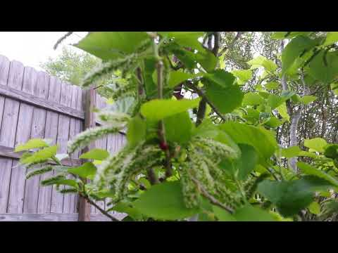 Mulberry Tree Update