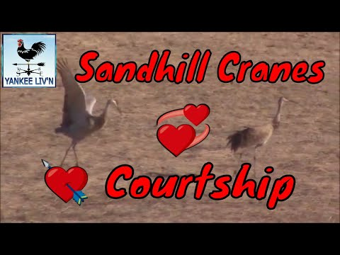 The Courtship Of Two Sandhill Cranes
