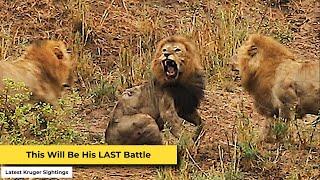 Final Battle of the Lion King in Kruger National Park