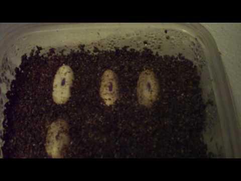 Leopard Gecko Eggs! 2010