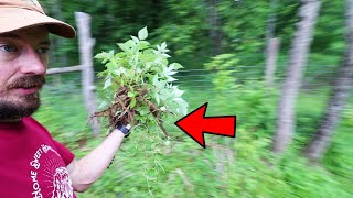 lazy GARDEN transplanting for FREE BERRY PATCH - 2x the harvest in 15 min