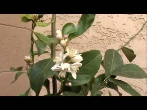 Citrus tree collection in our Arizona backyard garden - 11 citrus trees and counting