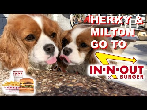 Dogs at In N Out | Pup Patty | Cavalier King Charles