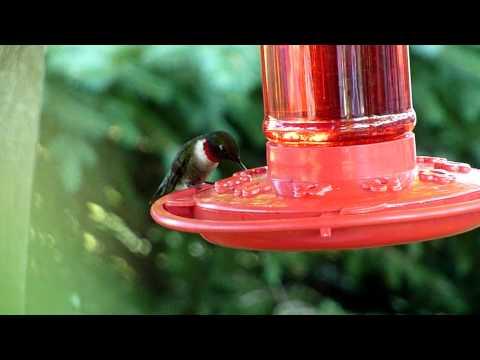 Hummingbird Feeding HD