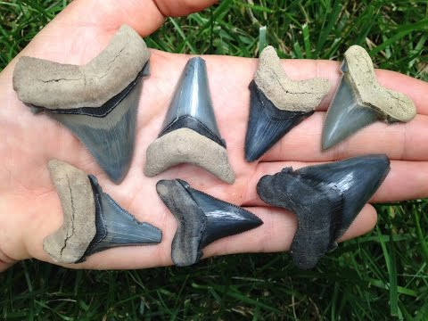 Finding HUGE Squalodon and Angustidens While Shark Tooth Hunting In SC