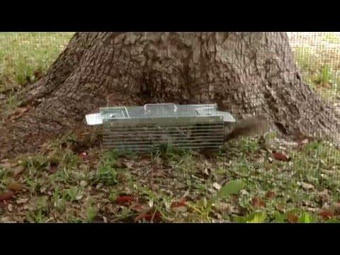 Havahart 1025 Two-Door Cage Trap -- On Squirrels