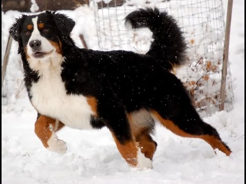 Bernese Mountain Dog Breed   Breed All About It - Bernese Mountain Dog