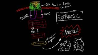Activating Apoptosis: Extrinsic Pathway (Made Ridiculously Simple)