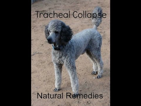 Tracheal Collapse in Dogs