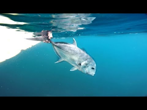 Catching The FEROCIOUS Bird Eating Fish  -- (Komodo Chaos Pt.2)