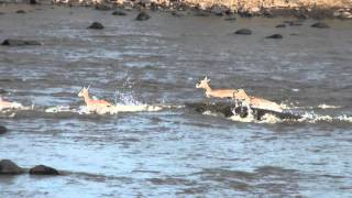 Awesome Wildlife Sighting In The Mara River