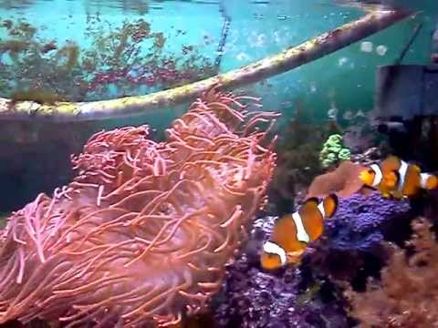 KensReef Mated Breeding Clownfish 55g Saltwater Reef Tank