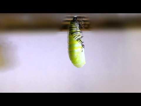 Monarch caterpillar transforms into a chrysalis (larva pupating)