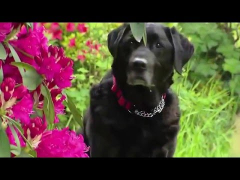 Tribute to Moss my retired my Guide Dog