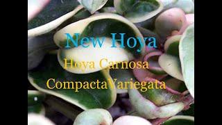 New Cutting Hoya Carnosa 'Compacta Variegata' Hindu Rope