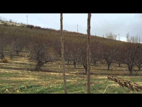 Training cherry trees