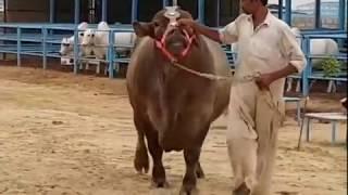 Turkey Dumba In Deonar 2018   Dumba mandi 2018