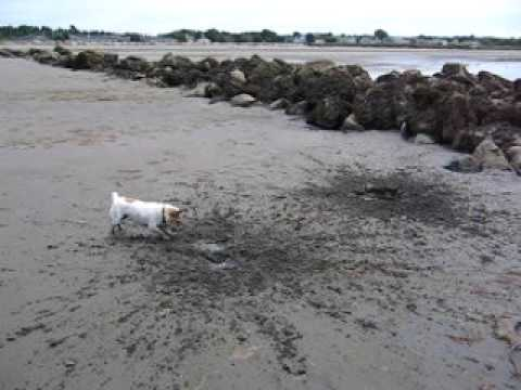 jack russell digging for clams