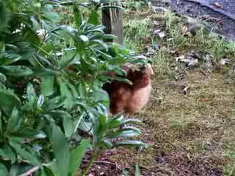 Chicken eats snake