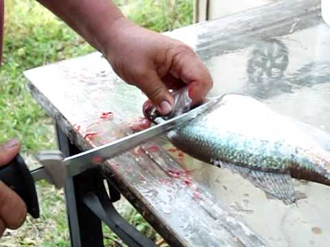 How To Filet A Crappie Using An Electric Knife