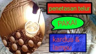 Alat tetas telur sederhana dari kardus   pemula ayam  kampung