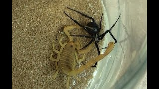 Download Black Widow Spider vs. Bark Scorpion Natural Pest Control Test Video