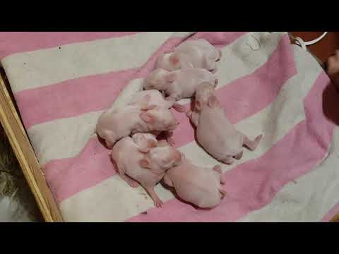 Baby bunnies: Marshmallow First Litter 5 days old