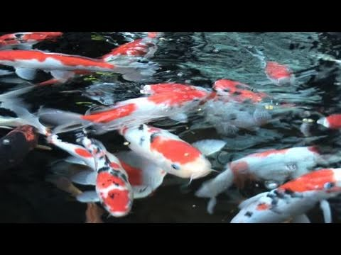How To Do Koi Fish Care