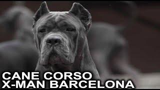 The best Italian mastiff Cane corso italiano