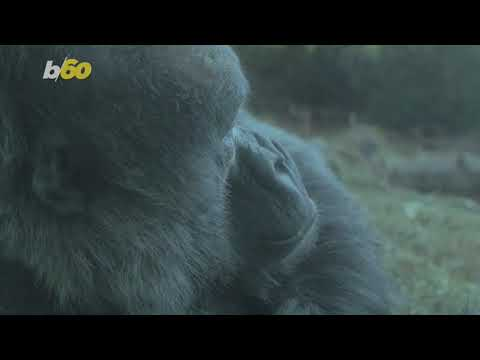 This Gorilla Walks Like a Human So He Doesn't Get His Hands Dirty