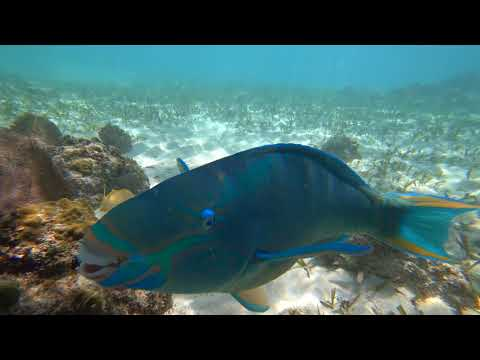 Young Parrot Fish Eating