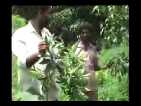 Mango tree pruning Kannada BAIF Karnataka