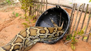 Awesome Big Snake Trap Using Cage Trap - How To Make Big Python Snake Trap Work 100%